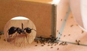 Муравьи в доме - как избавиться своими силами?